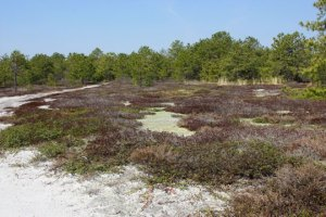 Broom Crowberry