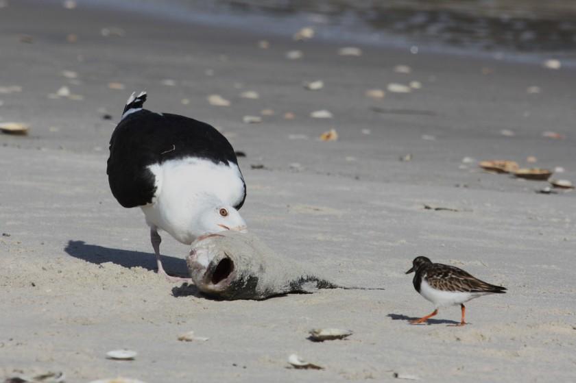 GBB Gull and Turnstone